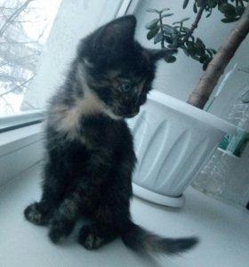 Отдадим котенка. Красивую трехшерстную девочку