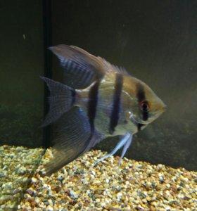 Аквариумная рыбка Сколярия