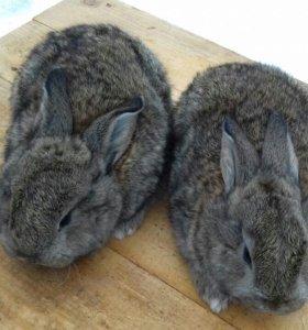 Продам кроликов калифорнийцев и великанов
