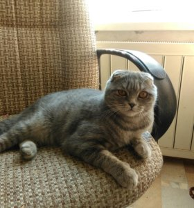 Вислоухий котик для вязки.