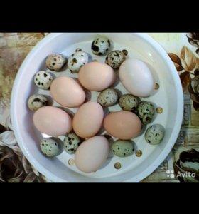 Джерсийский гигант. Инкубационное яйцо.