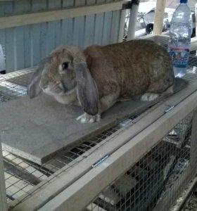 Кролик-баран