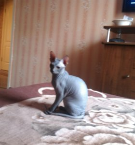 Вязки Донской котик ищет кошку!