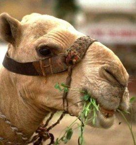 Корм для верблюдов