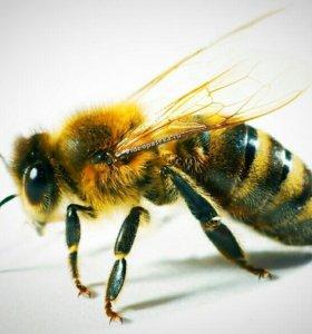 Пчелы, пчеломатки