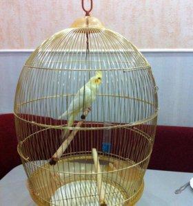 Попугаи Кореллы 2-месячные
