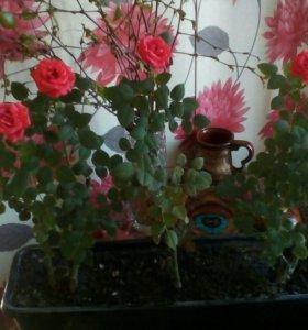 Розы миниатюрные саженцы