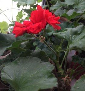 Комнатный цветок Герань