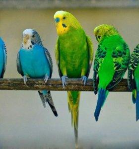 Волнистый попугайчи