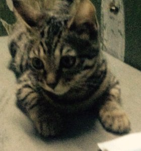 кошка бенгальская