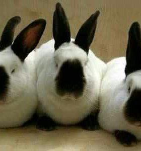 Кролики Калифорнийские, НЗК