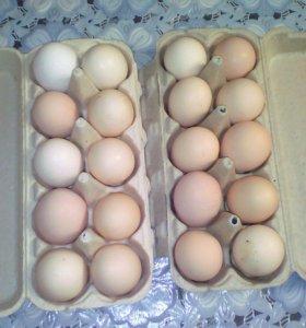 Куриные яйца(домашние)