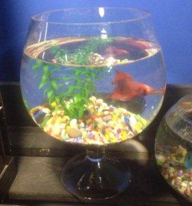 Рыбка Петушок с аквариумом