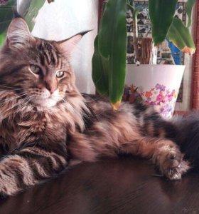 Вязка Котик Мейн Кун ищет кошечку