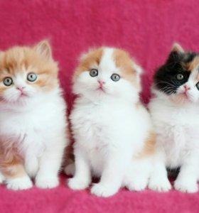 Продам котенка шотландский фолд