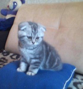 Шотландские котята -вислоухие и прямоухие