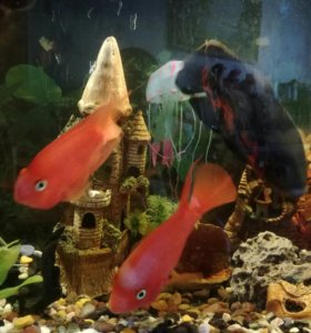 Рыбки-попугаи