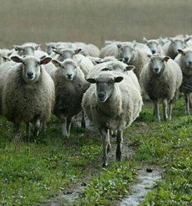 Овцы, бараны, ярки, ягнята