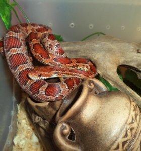Змея. Маисовый полоз