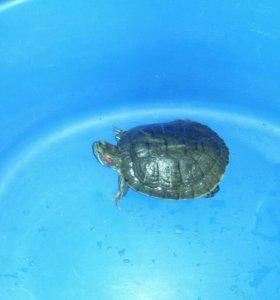 Продаётся красноухая черепаха