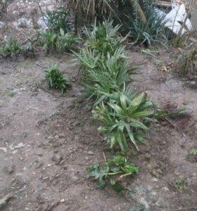 Пальмы от 200р до 500р