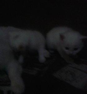 Котята породисстые