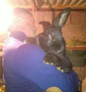 Кролики ризены