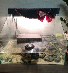 Красноухая черепаха с черепашником