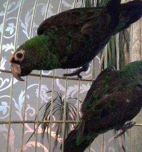 Конголезкие попугаи