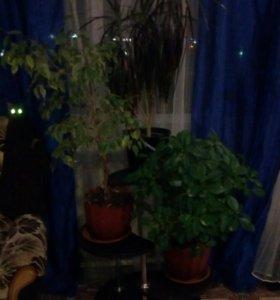 Драцена, фикус, денежное дерево