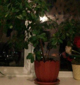Денежное дерево 50р