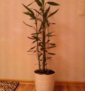 🌱 Бамбук, комнатное растение