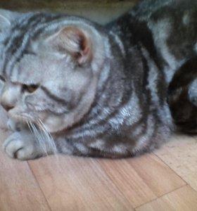 Кот на вязку,котята