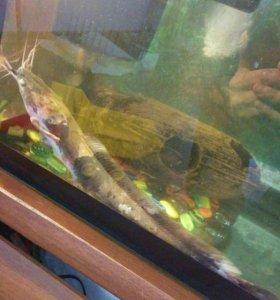 Аквариумная рыбка клариус