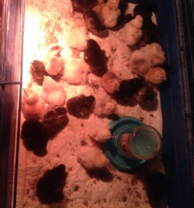 Цыплята, перепела, утки разных возрастов