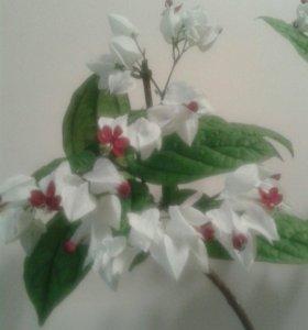 Цветок Клеродендрон