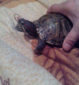 Красноухие черепахи отдам даром
