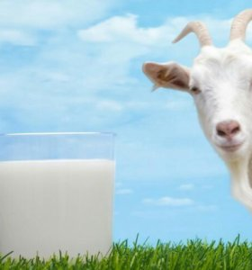 Козье молоко со своей фермы