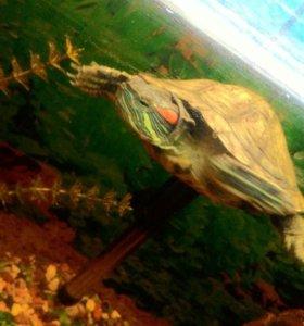 Черепаха красноухая маленькая.