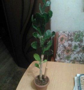 Цветок кактус