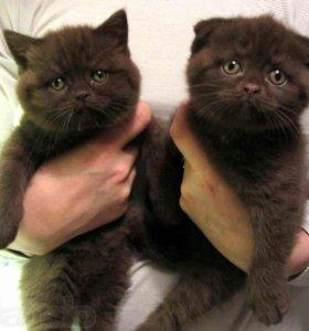 Шотландские котята Вислоухие и Прямоухие Фолд