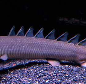 Рыба - дракон