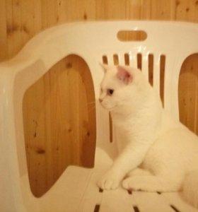 Чистокровный британский котик с голубыми глазами