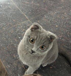 Шотландский кот ждет на вязку британскую кошечку