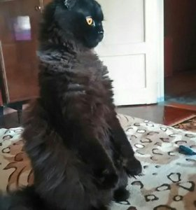 Кот приглашает кошечку на вязку