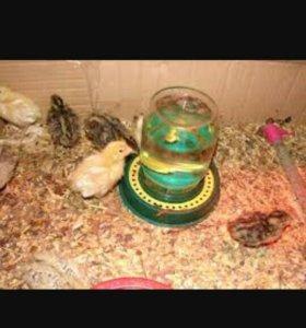 Инкубационное яйцо и суточные перепелята.