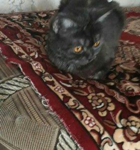 Котята полубританы