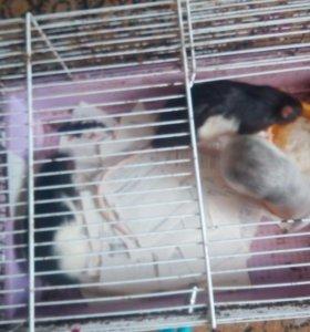 Продам крыс срочно