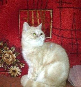 Котёнок подрощенный кошечка