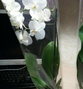 Орхидеи-фаленопсис